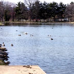 Ducks Swimming in Culler Lake