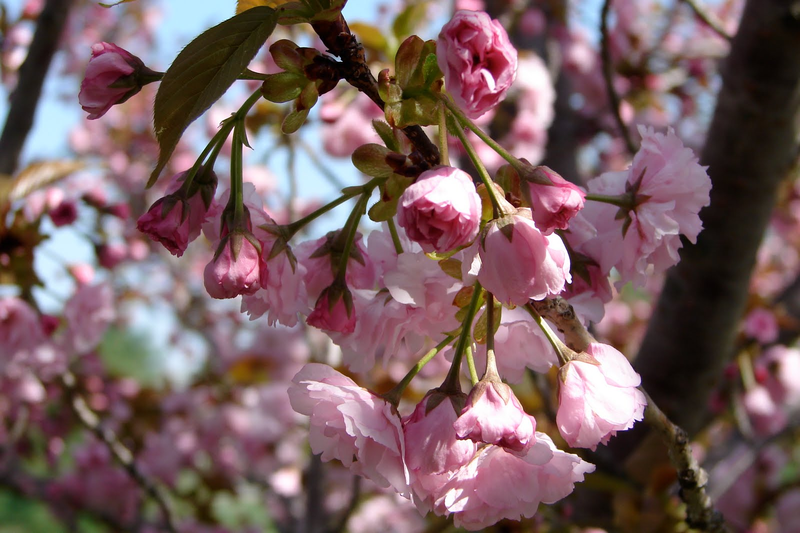 National Cherry Blossom Festival Maryland Historic District