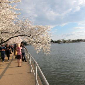 National Cherry Blossom Festival 25